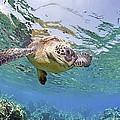 Green Sea Turtle by M Swiet Productions