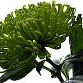 Green Shamrock Chrysanthemum. by Terence Davis