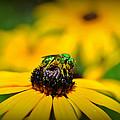 Green Sweat Bee by Kelly Nowak