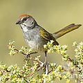 Green-tailed Towhee by Anthony Mercieca