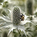Green Thistle by Eunice Gibb