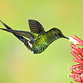 Green Thorntail Hummingbird by Anthony Mercieca