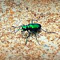 Green Tiger Beetle by Tara Potts