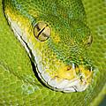 Green Tree Python #2 by Judy Whitton