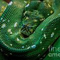 Green Tree Python Curled by Grace Grogan