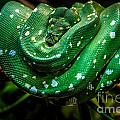 Green Tree Python by Grace Grogan