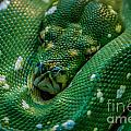 green tree python Macro by Grace Grogan