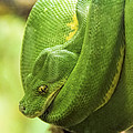 Green Tree Python by Penny Lisowski
