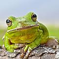 Green Treefrog by John Serrao