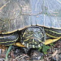 Green Turtle by Dwight Cook