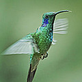 Green Violetear Hummer Beauty by Leslie Reagan -  Joy To The Wild Photos