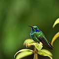 Green Violetear Hummingbird by Heiko Koehrer-Wagner