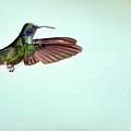 Green Violetear Hummingbird In Flight by Nicolas Reusens