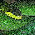 Green Viper by Joachim G Pinkawa