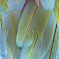 Green-winged Macaw by Judy Whitton