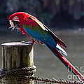 Green-winged Macaw by Louise Heusinkveld