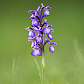 Green Winged Orchid by Tim Gainey
