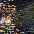 Green-winged Teal by Kate Brown