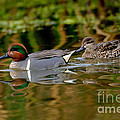 Green-winged Teal Pair by Anthony Mercieca