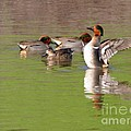 Green-winged Teals by Bob and Jan Shriner