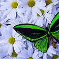 Green Wings In The Mums by Garry Gay
