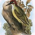 Green Woodpecker by English School