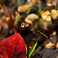 Greenbriar Leaf And Wintergreen Seedpod by Douglas Barnett