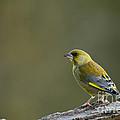 Greenfinch by Anne Gilbert