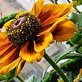Greenhouse Daisy by Georgette Grossman