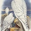 Greenland Falcon by John Gould