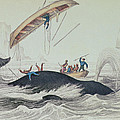 Greenland Whale Book Illustration Engraved By William Home Lizars  by James Stewart