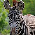 Grevy Zebra by Davandra Cribbie