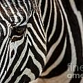 Grevy's Zebra 4 by Arterra Picture Library