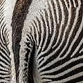 Grevy's Zebra 5 by Arterra Picture Library