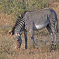 Grevys Zebra by Tony Murtagh