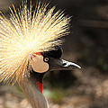 Grey Crowned Crane by Lynn Sprowl