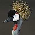 Grey Crowned Crane Portrait by San Diego Zoo