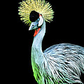 Grey Crowned Crane by Sonja Dover