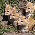 Grey Foxes At Den by David Beebe