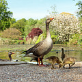 Grey Geese And Goslings by Daniel Sambraus/science Photo Library