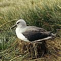 Grey-headed Albatross Nesting Chile by Tui De Roy