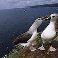 Grey-headed Albatrosses At Nest Site by Tui De Roy