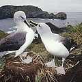 Grey-headed Albatrosses Courting by Tui De Roy