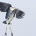 Grey Heron Landing Germany by Konrad Wothe