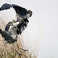 Grey Herons Fighting by Science Photo Library