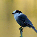 Grey Jay  by Barbara Griffin