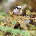 Grey Jay Perisoreus Canadensis Watching Perched by Stephan Pietzko