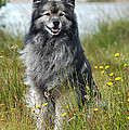 Grey Keeshond Dog Sitting In Grass by Dog Photos