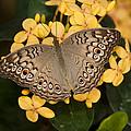Grey Pansy Butterfly Arizona by Tom Vezo