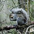 Grey Squirrel by CE Haynes